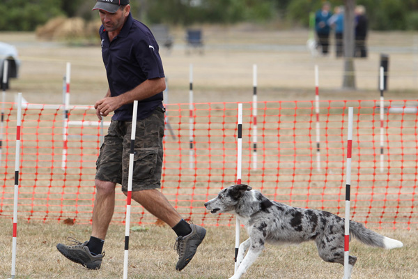 Chrystal, the blue merle boarder collie and owner Glenn Ziamo of Christchurch in the intermediate agility section at the Dog Agility and Obedience Championship Show hosted by the Canterbury Canine Obedience Club at Canterbury Park over the weekend.