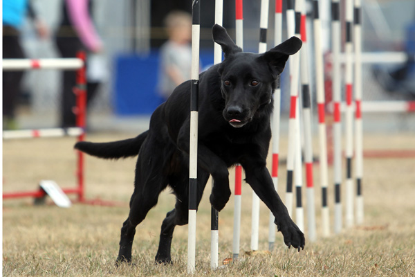 Kayla the labrador cross from the South Canterbury Dog Training Club in the intermediate maxi dog agility section at the Dog Agility and Obedience Championship Show hosted by the Canterbury Canine Obedience Club at Canterbury Park over the weekend.