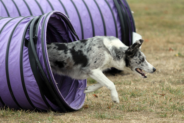 Chrystal the blue merle border collie with owner Glenn Ziamo of Christchurch in the intermediate agility section at the Dog Agility and Obedience Championship Show hosted by the Canterbury Canine Obedience Club at Canterbury Park over the weekend.