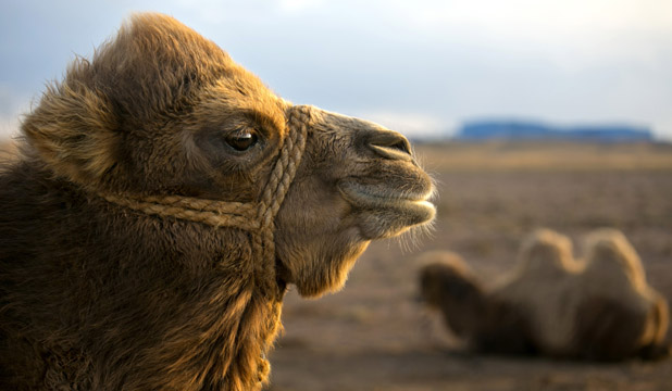 OVER THE HUMP: Camel's milk is poised to become the hot new super drink.