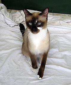 Zoro the siamese cat