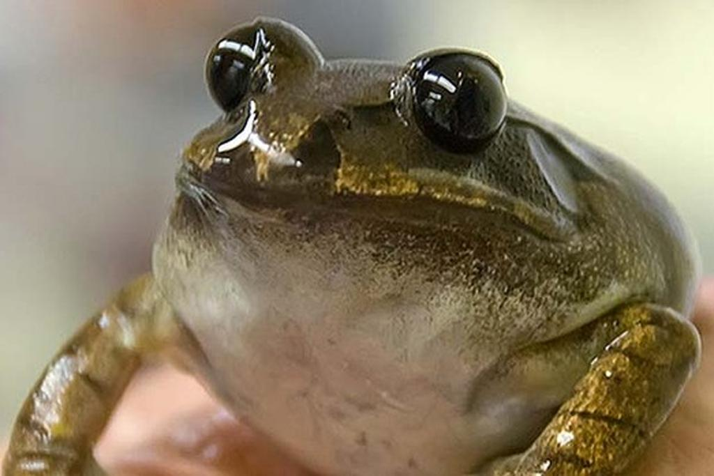 Extinct frog back from the dead