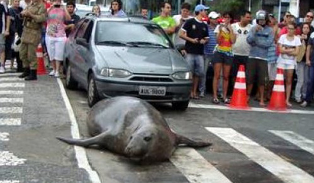TRAFFIC HAZARD: The elephant seal just wanted to see the sights.