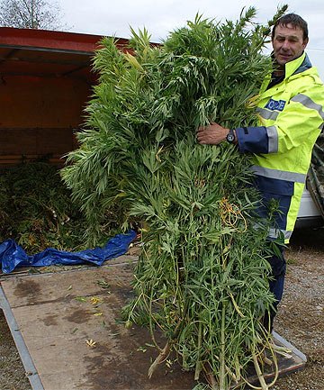 BIG HAUL: Constable Mark Watson, of Reefton, with some of the annual West Coast cannabis bust.