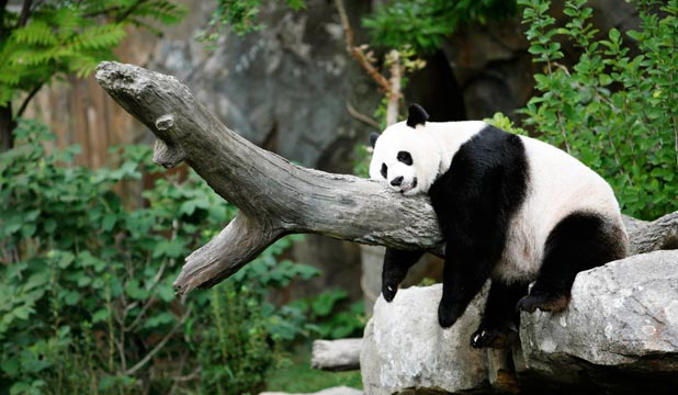 panda mating fails science takes over stuff co nz