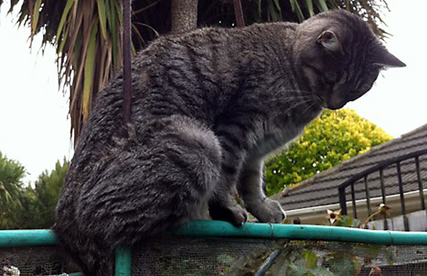 Cat Survives Impaling On Metal Fence Stuff Co Nz