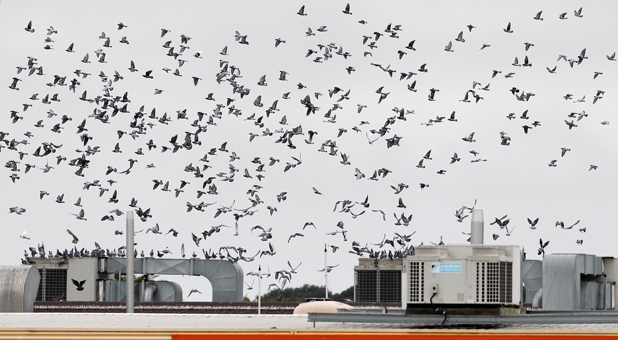 Taking to the skies: Hundreds of pigeons above central Blenheim when they are disturbed from their roosts on top of the Floor Pride Marlborough Civic Theatre in Arthur St. Complaints are being made about the mess they make and the mites the birds carry.