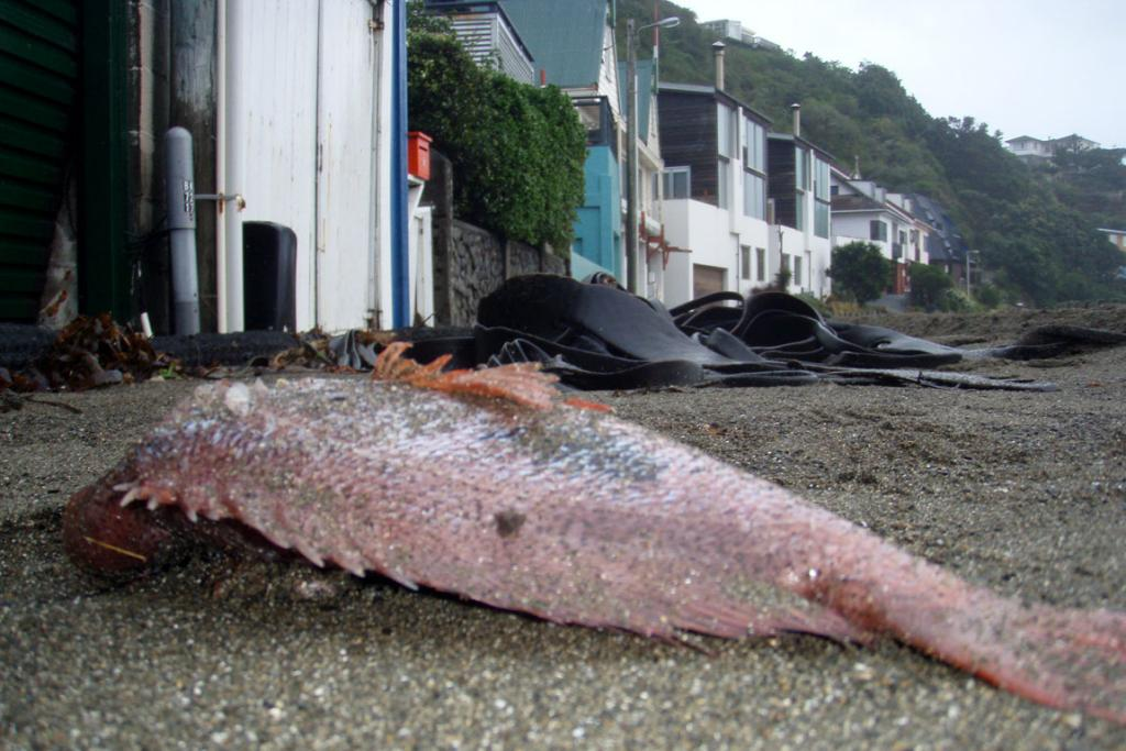 A fish that made it all the way across the road on Owhiro Bay.