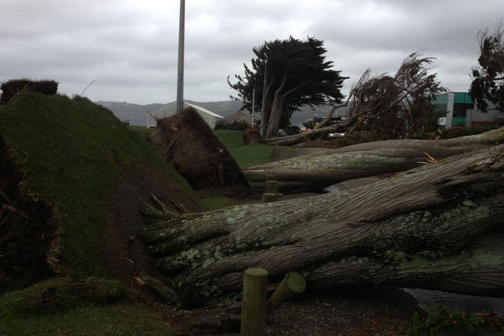 Trees ripped out of the ground in Petone.