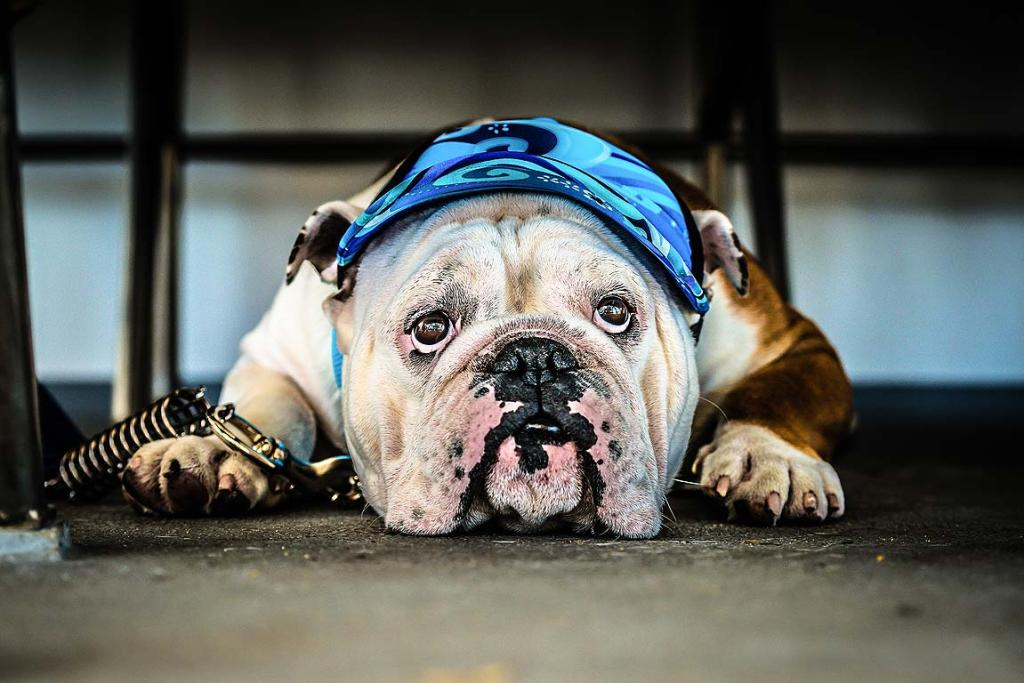 RELUCTANT TRAVELLER: Peter Rees snapped this picture on the ferry and called it  '' Bulldog Blues'', reflecting his dog's feelings about being aboard.