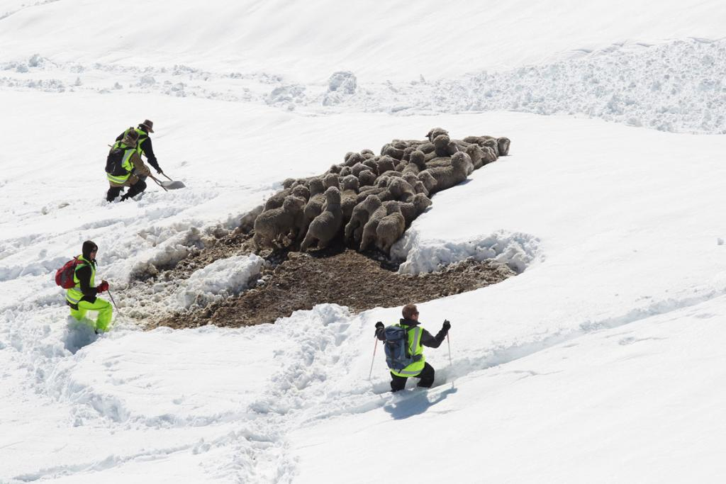 Skiers worked in groups to herd sheep to safety.
