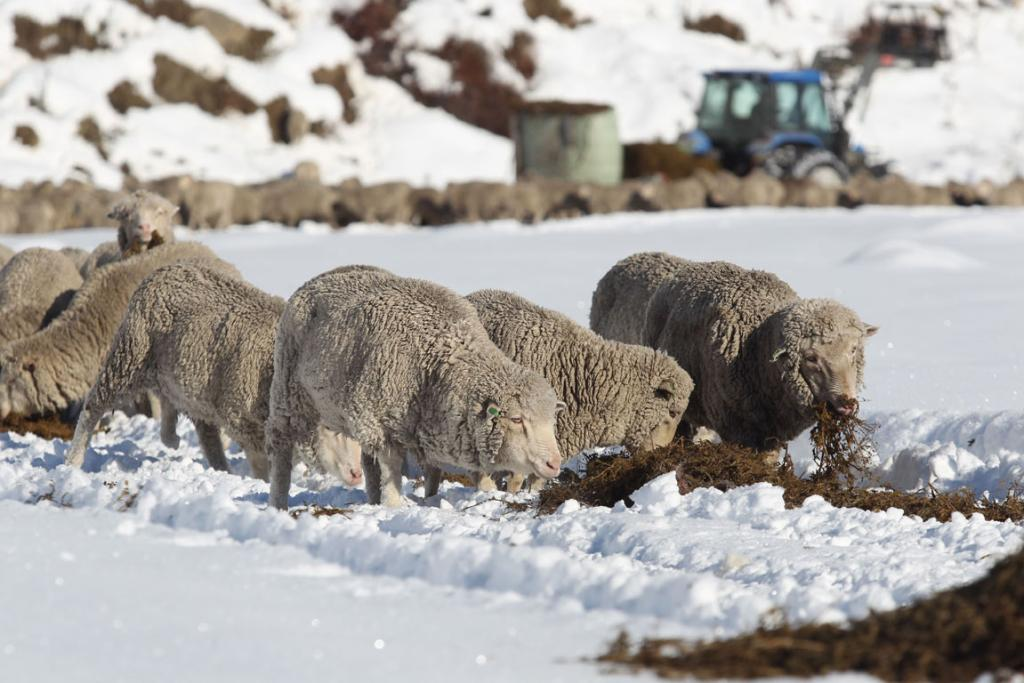Feed was brought to the stranded sheep.
