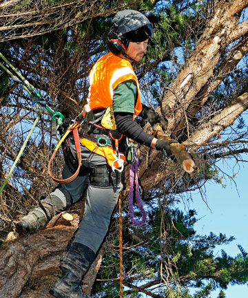 BRANCHING OUT: Wellington City Council worker Hiroshi Ikeno removes broken branches from a macrocarpa damaged in the storm.