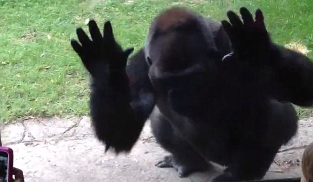 After enduring endless taunts, this gorilla shows visitors to Dallas Zoo who's boss.