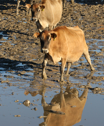 IN THE BOG: Cattle are trampling their feed into the mud.