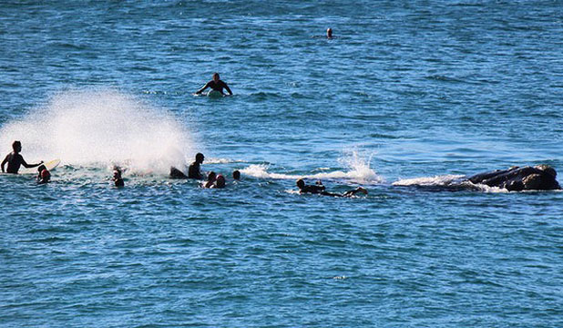 The 10-metre whale, right, moves its mighty tail near the surfers at Bondi Beach on Sunday.