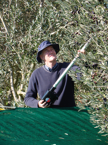 RAKE'S PROGRESS: A powered olive rake helps Colin Hadley tickle  his fruit into the waiting Olinet.