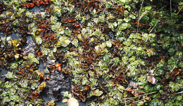 Illegal trade: Blackmarket trade in the Brazilian aquatic weed salvinia (kariba weed) is putting the region's waterways under threat. ntsGPhoto: Supplied.