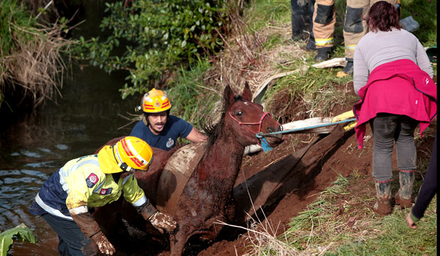 BIG PULL: Sweet Pea the horse was stuck in a New Plymouth creek for hours yesterday. A team effort was involved to pull her free with a digger.