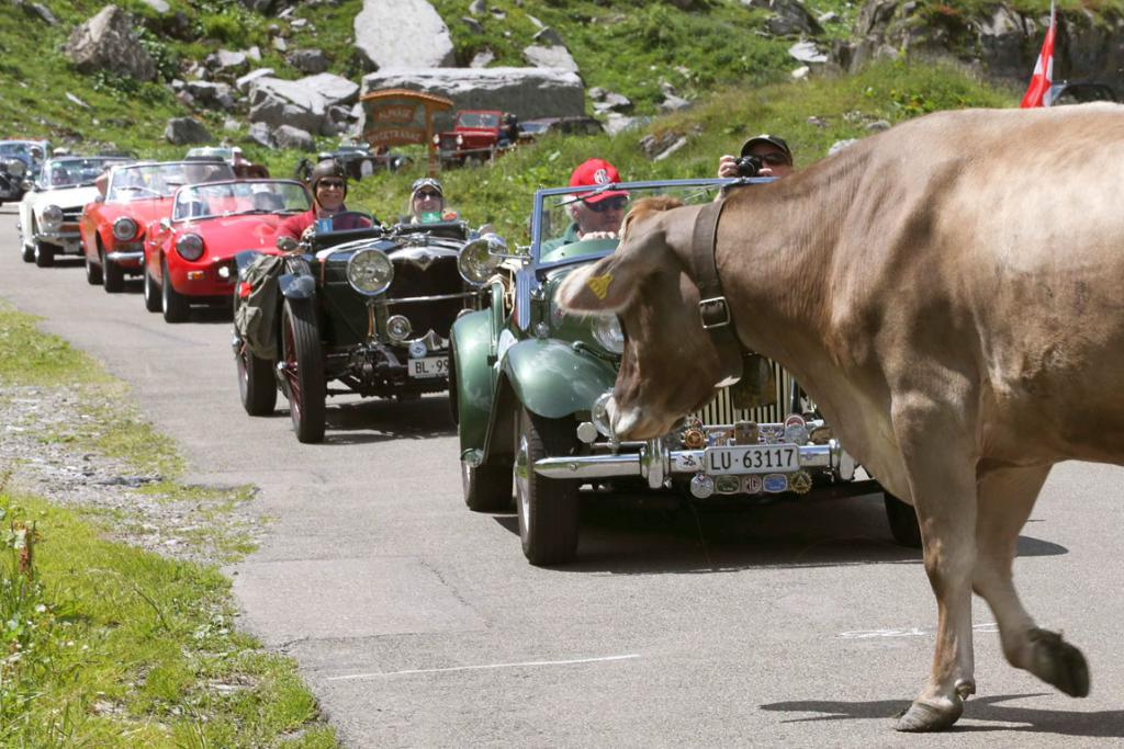 Vintage cars are stopped by a cow standing on the Klausenpass mountainpass road in eastern Switzerland.