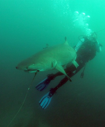 2.4m grey nurse shark