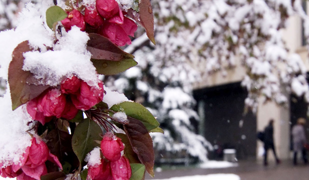 Snow on crab apple blossoms in Calgary after a February snowstorm