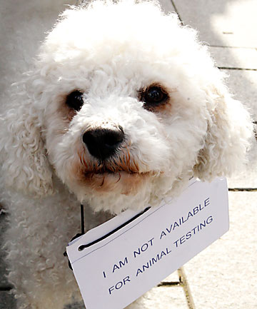 Protesting poodle