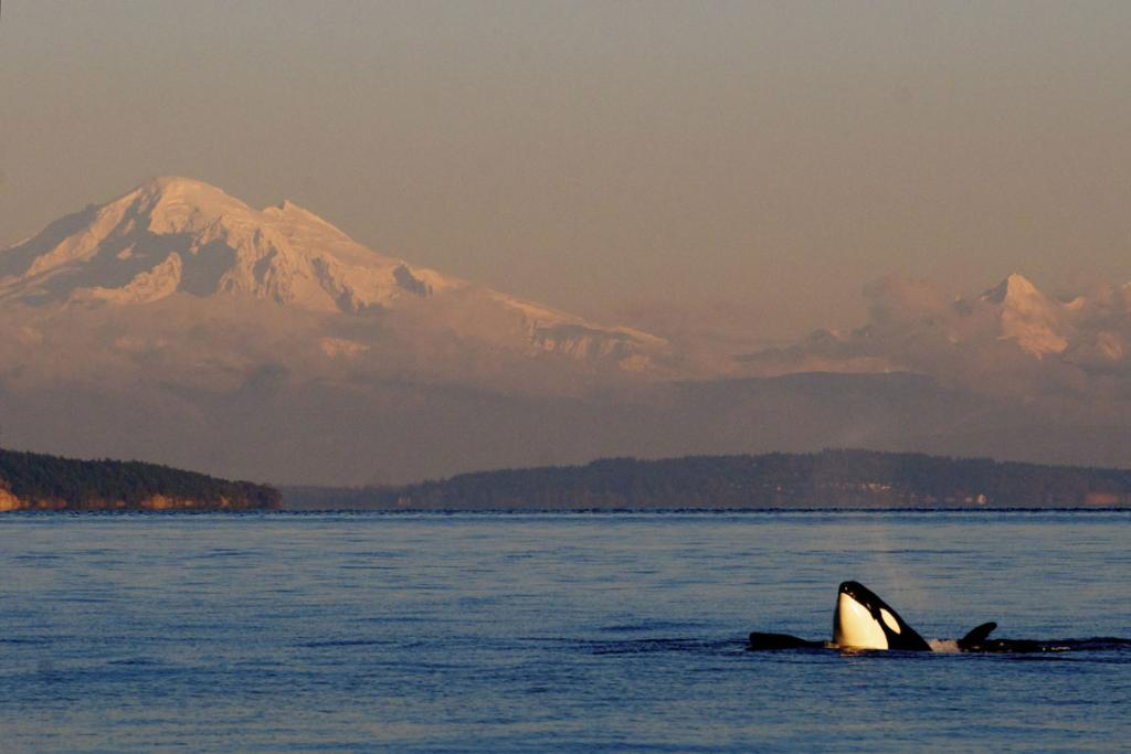 Orca whales inhabit the waters from mid-April to early October with the best chance to see them from late May through September.