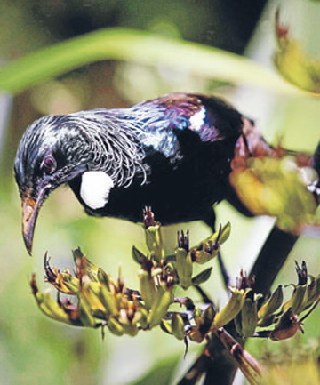 A tui drinks nectar from roadside flax.