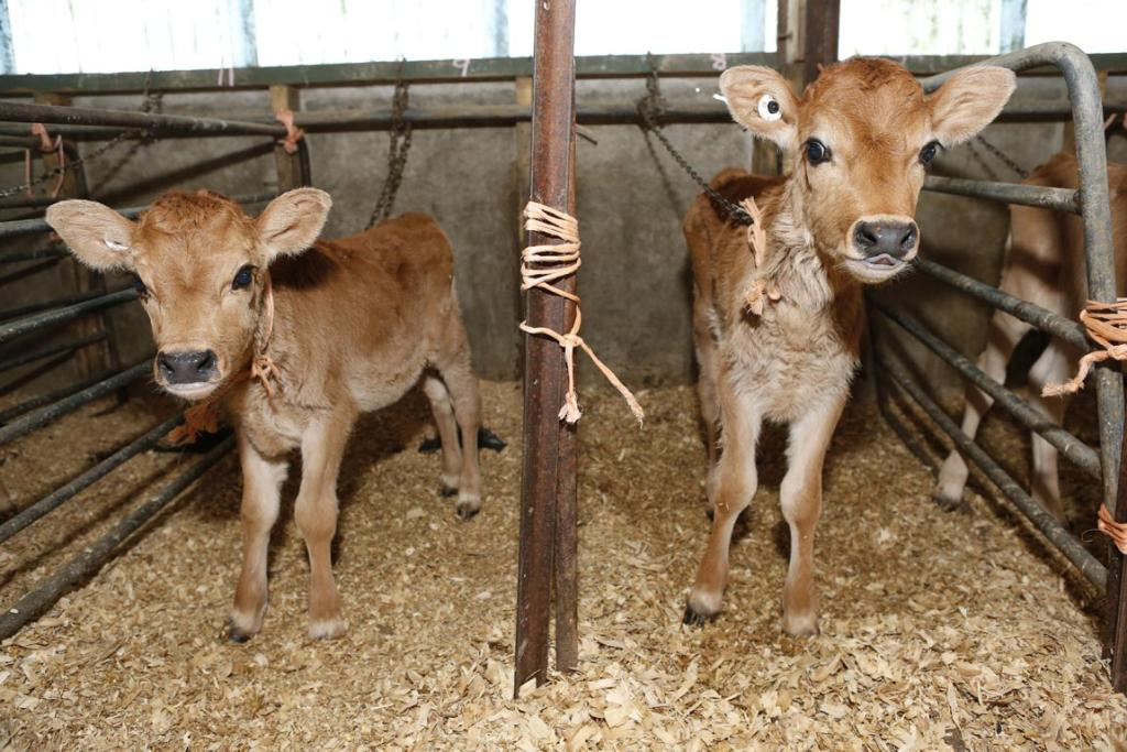 Heifer calves are tethered  in individual pens on Ted and Clare Ford's farm at Appleby on the Moutere Highway, Nelson.