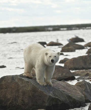 VAST WILDERNESS: The area around Churchill in Manitoba, Canada, is one of the best spots in the world to see polar bears.