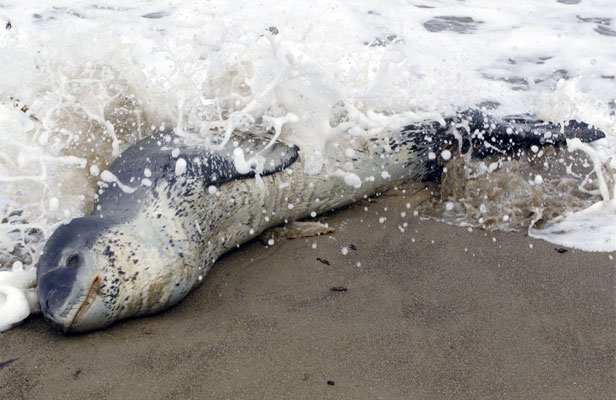 STAY CLEAR: The leopard seal at Lyall Bay.