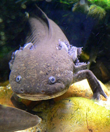 "THIRD UGLIEST: The Mexican ""walking fish"" axolotl voted less ugly than the kakapo."