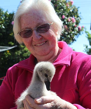 CALL ME MUM: Sylvia Durrant plays mum to thousands of birds including this cygnet that lost all its siblings to a pukeko attack.