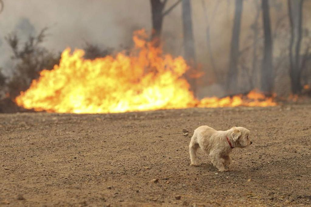A lost dog runs from a bushfire in NSW.