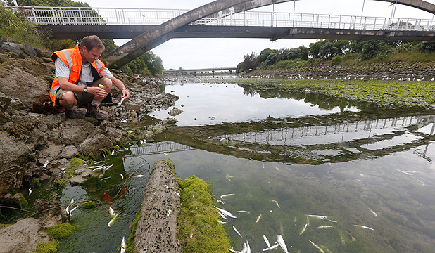 SEEKING THE CAUSE: Nelson City Council environmental team leader Neil Henderson collects dead fish for testing.