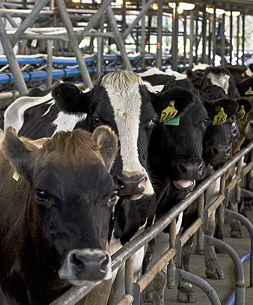 Dairy cows in milking shed.