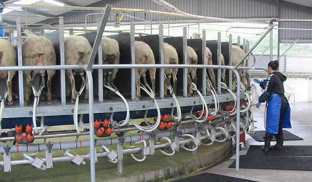 Waituhi Kuratau Station's 80-bale rotary milking plant has its own automatic cup-removers and in-shed feeding system.
