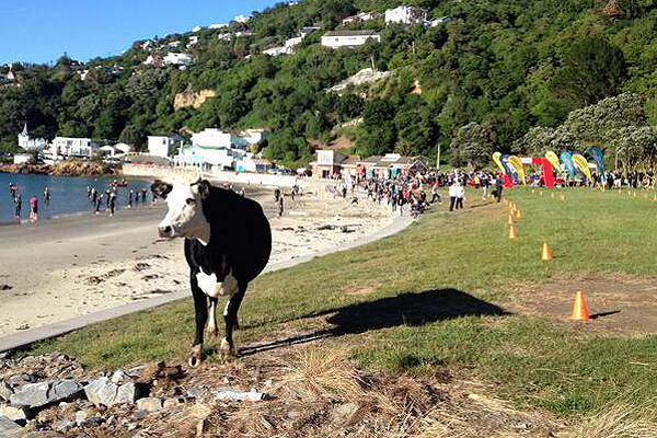 Bovine at the beach: A cow wandered down to the beach to check out this morning's Scorching Triathlon.