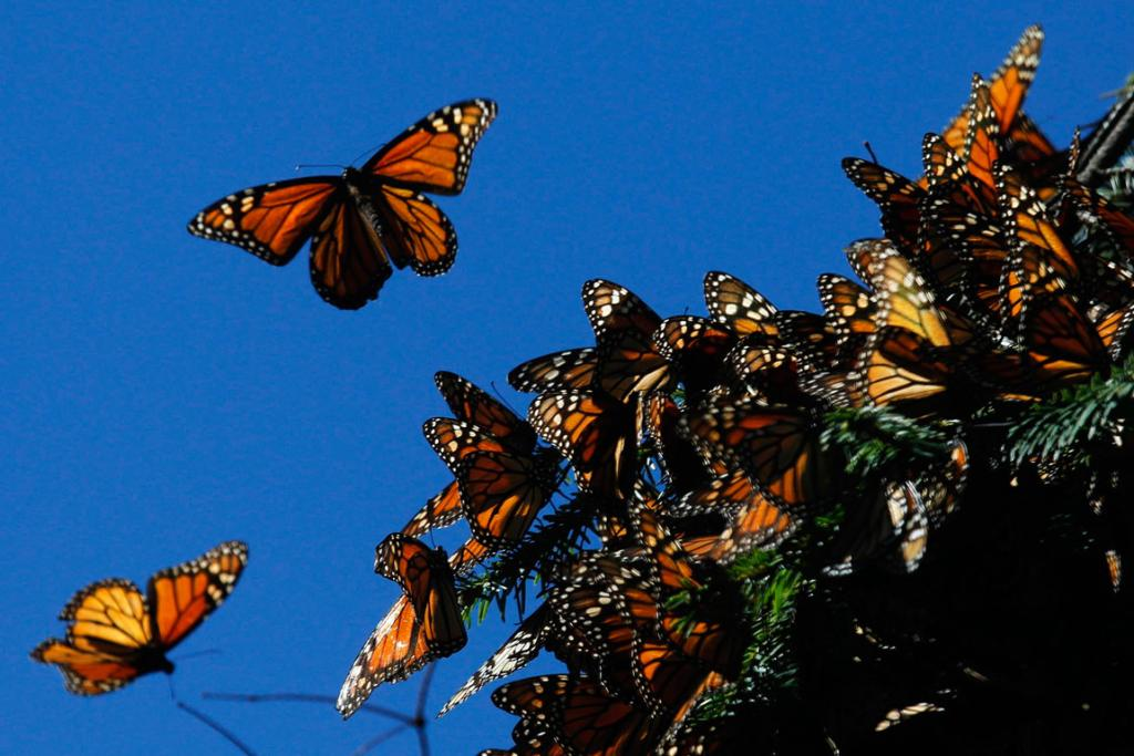 Monarch butterflies fly at the El Rosario butterfly sanctuary on a mountain in the Mexican state of Michoacan.