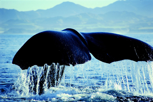A sperm whale lifts its tail during its migration up the east coast of the South Island.  Kaikoura residents are concerned that seismic testing for oil exploration will confuse the whales and scare them off.