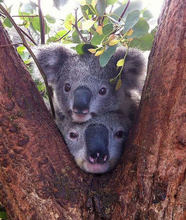 7. Cuteness alert - captured by Tony Britt-Lewis, Koala Keeper at Taronga Zoo, February 26, 2013. 100,276 likes.