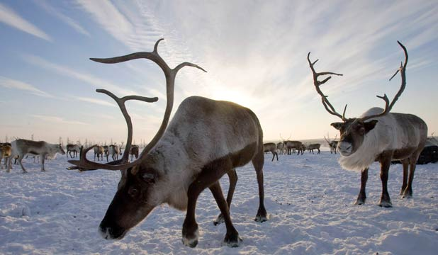 GLOBAL WARMING VICTIMS: Reindeers graze near a settlement near the village of Gornokniazevsk on the Yamal peninsula, above the polar circle. Global warming has seen reindeer herds decline in numbers.