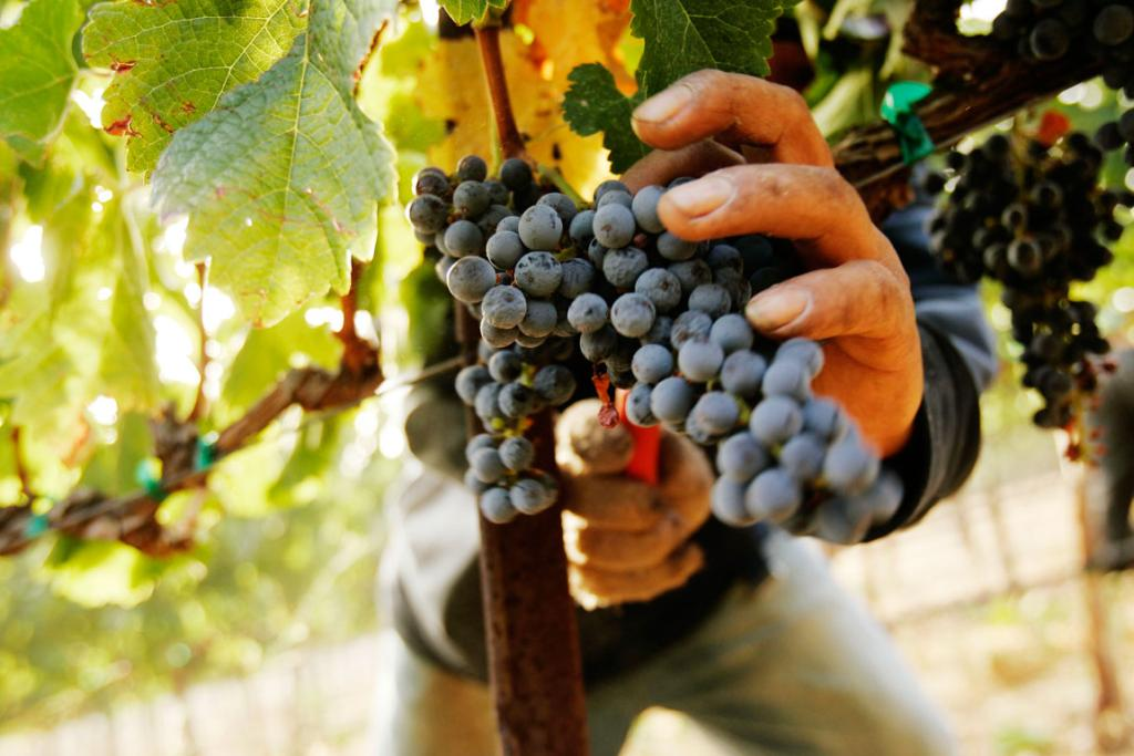 A worker pick grapes at a vineyard at Napa Valley winery Cakebread Cellars, during the wine harvest season in Rutherford.