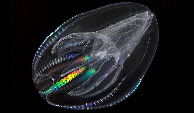 COMB JELLIES: A Mnemiopsis leidyi, a species of comb jelly known as a sea walnut. The Science journal now says comb jellies represent the oldest branch of the animal family tree.