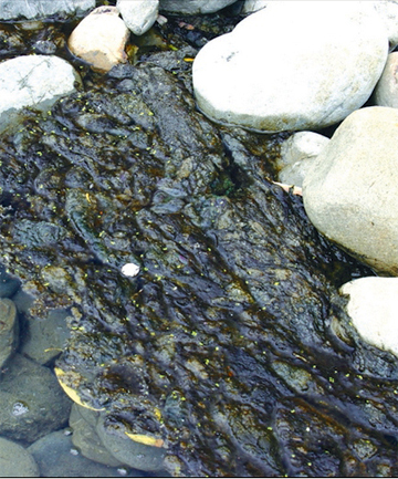 Hutt River algae