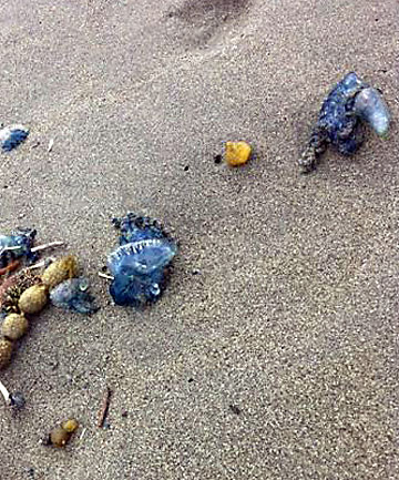 WARNING: Hundreds of blue jellyfish have washed up on Spencer beach.