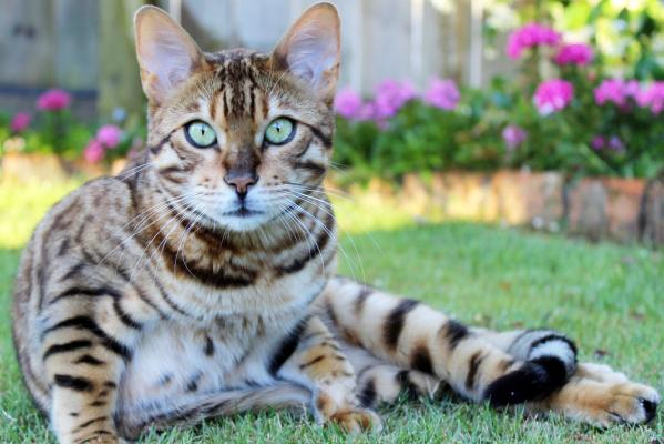 Summer pix Bengal cat
