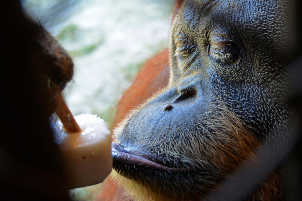An orangutan eats an ice cream to cool off in the 35-degree temperatures.