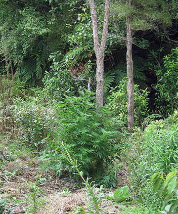 High times: Police found this cannabis plot in the Marlborough Sounds during an annual cannabis operatio